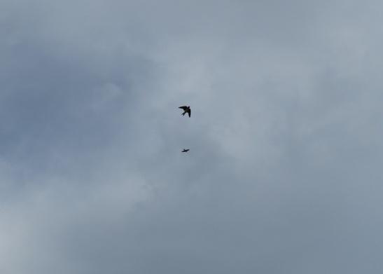 Birdwatching: golondrina doméstica, progne chalybea)